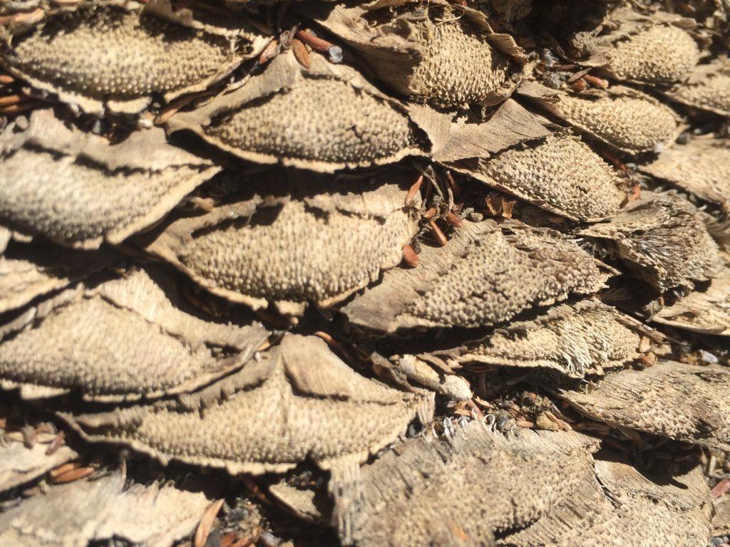 Dead pine cone close up