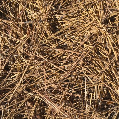Pile of pine needles creating golden brown texture