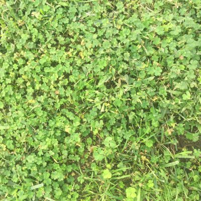 Grass with clovers and some brown dirt showing