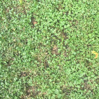Clover filled grass with bits of brown earth