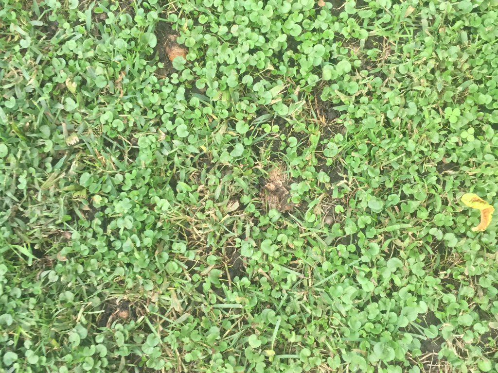 Sparse grass in clover field with patches of dirt showing through
