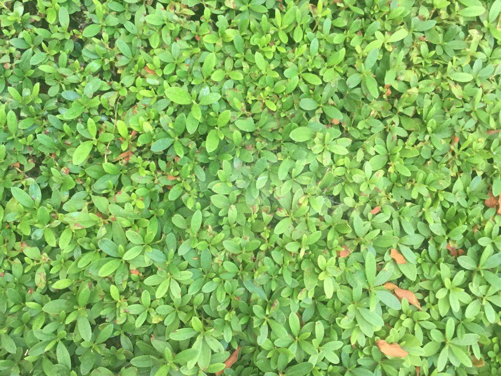 Bush with bright green leafs and a few dead leafs