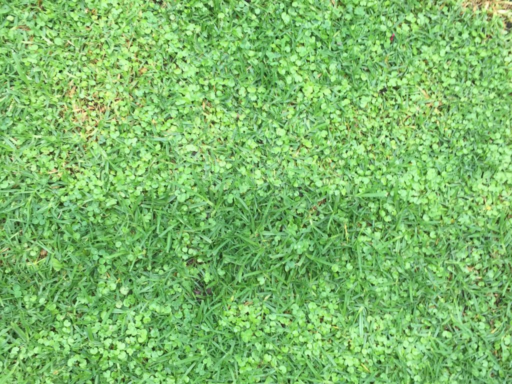 Clovers mixed with grass creating bright green texture