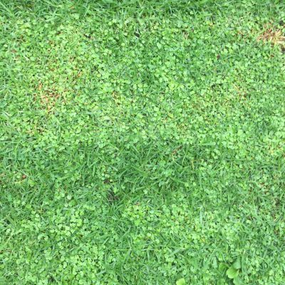 Deep green grass mixed with clovers