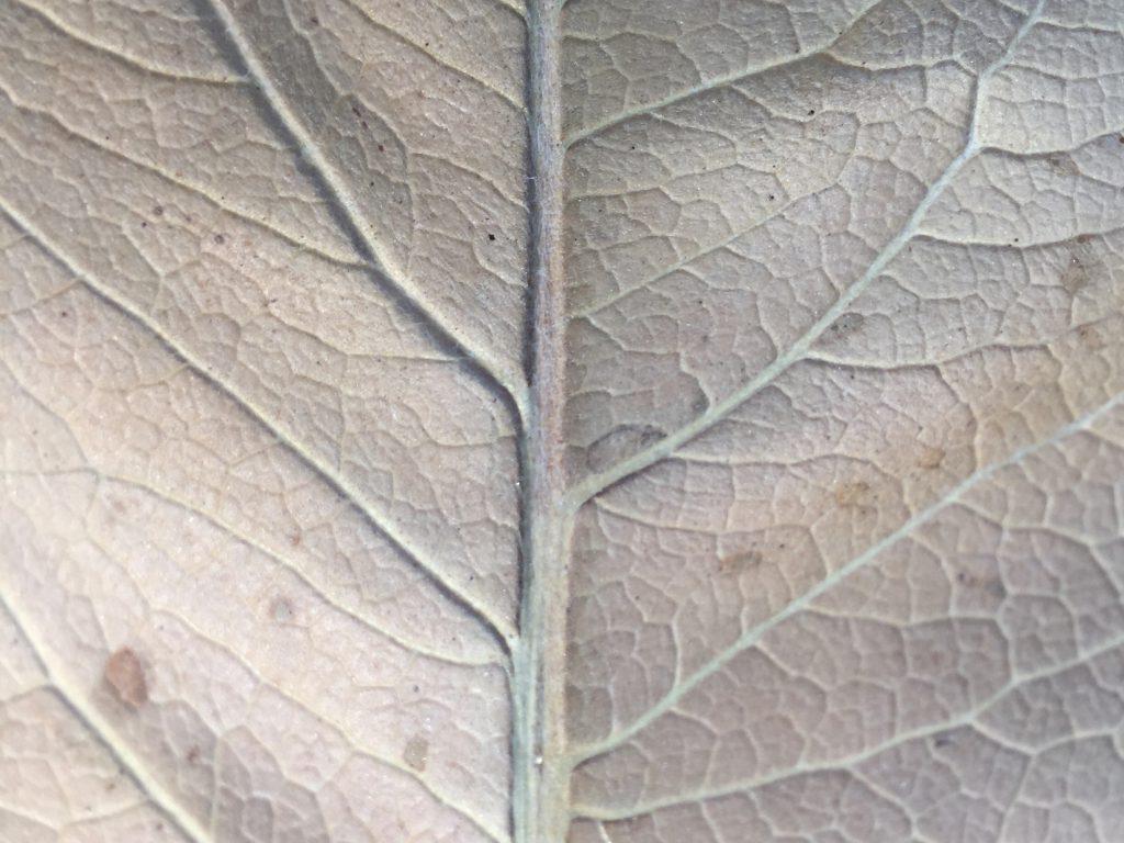 Big brown leaf close up