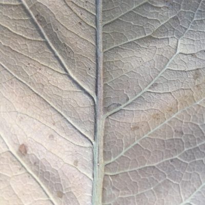 Big brown leaf close up