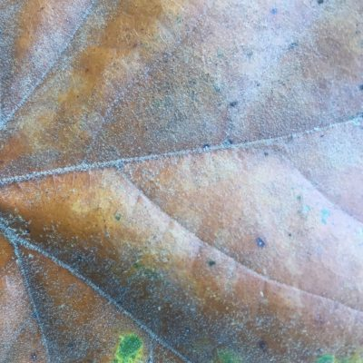 Glossy dead leaf with spots of green