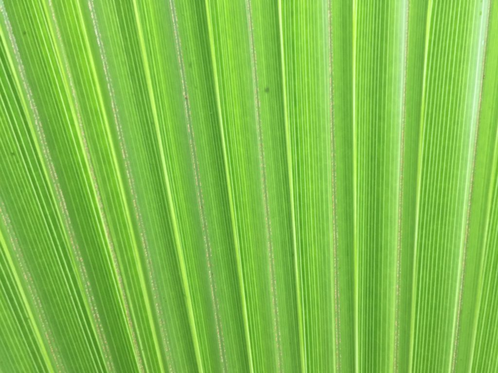 Large palm leaf fanning out