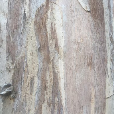 White Flakey Tree Bark Texture