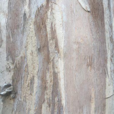 White Flakey Tree Bark Texture