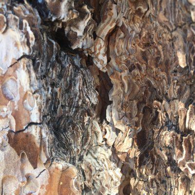 Bark of Tree Close Up