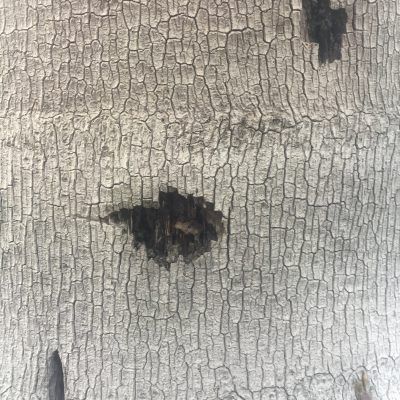 White Tree Bark Close Up Texture