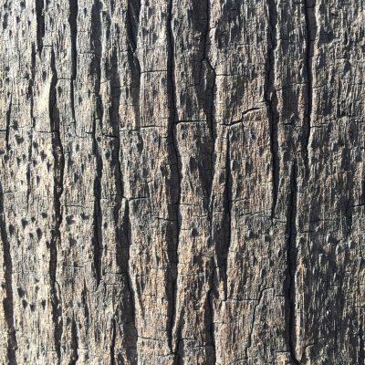 Light grey bark with large cracks moving vertically