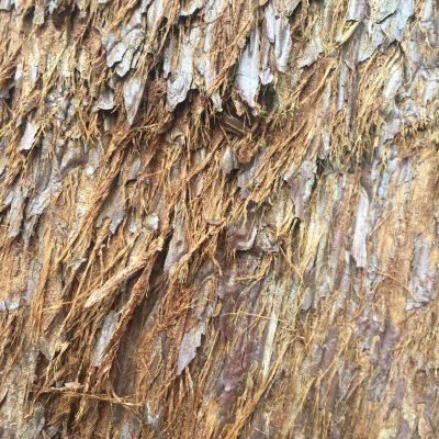 Flakey bark of Sequoia tree texture