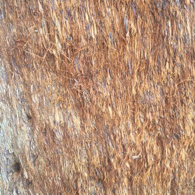 Sequoia tree bark with redish hair like texture