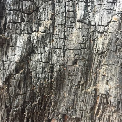 Charred dead tree with large cracks and grain running vertically