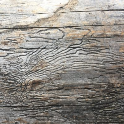 Light brown/grey dead wood with maze of lines