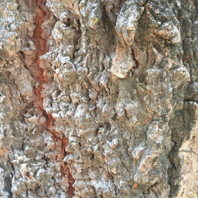 Light grey sharp and rigid layers of bark with red center