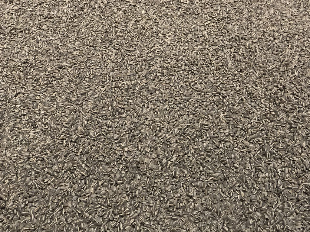 Wide shot of thousands of sunflower seeds
