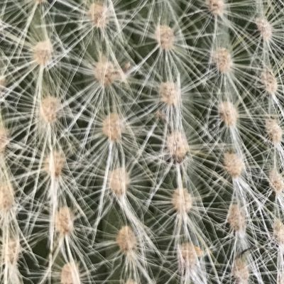 Detailed shot of white cactus prickles