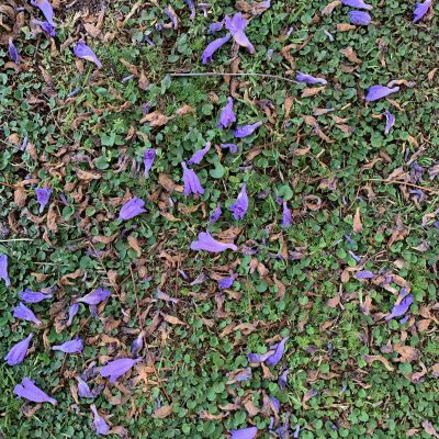 Purple flower petals covering green grass and clover filled lawn