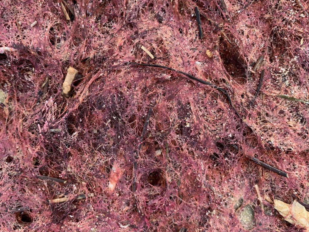 Dried crimson moss with fibrous texture