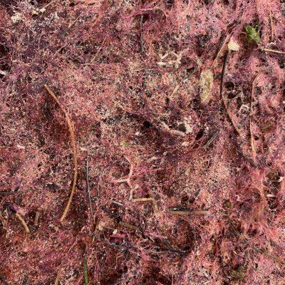 Sandy red moss