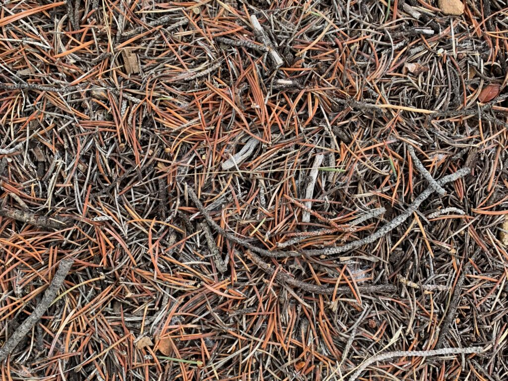 Forest bed filled with brown pine needles