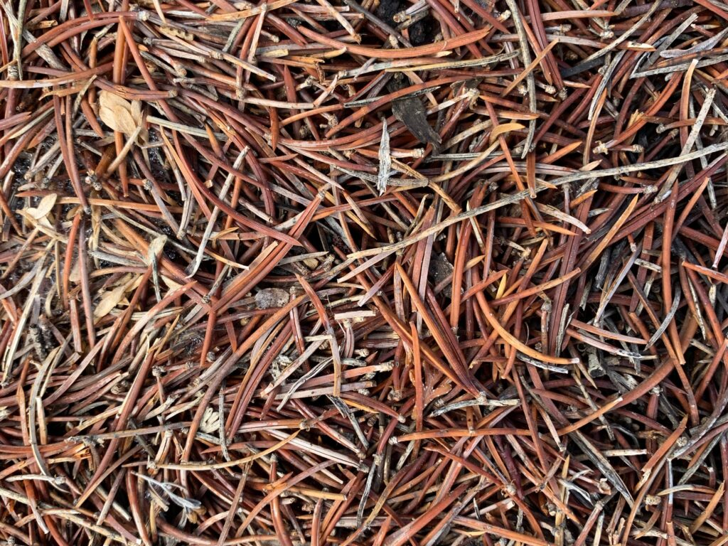 Bed of light brown pine needles from forest floor