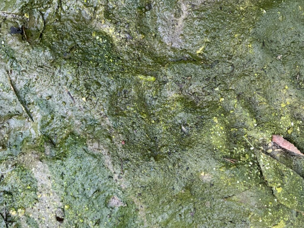 Mud with a layer slimy layer of green mold